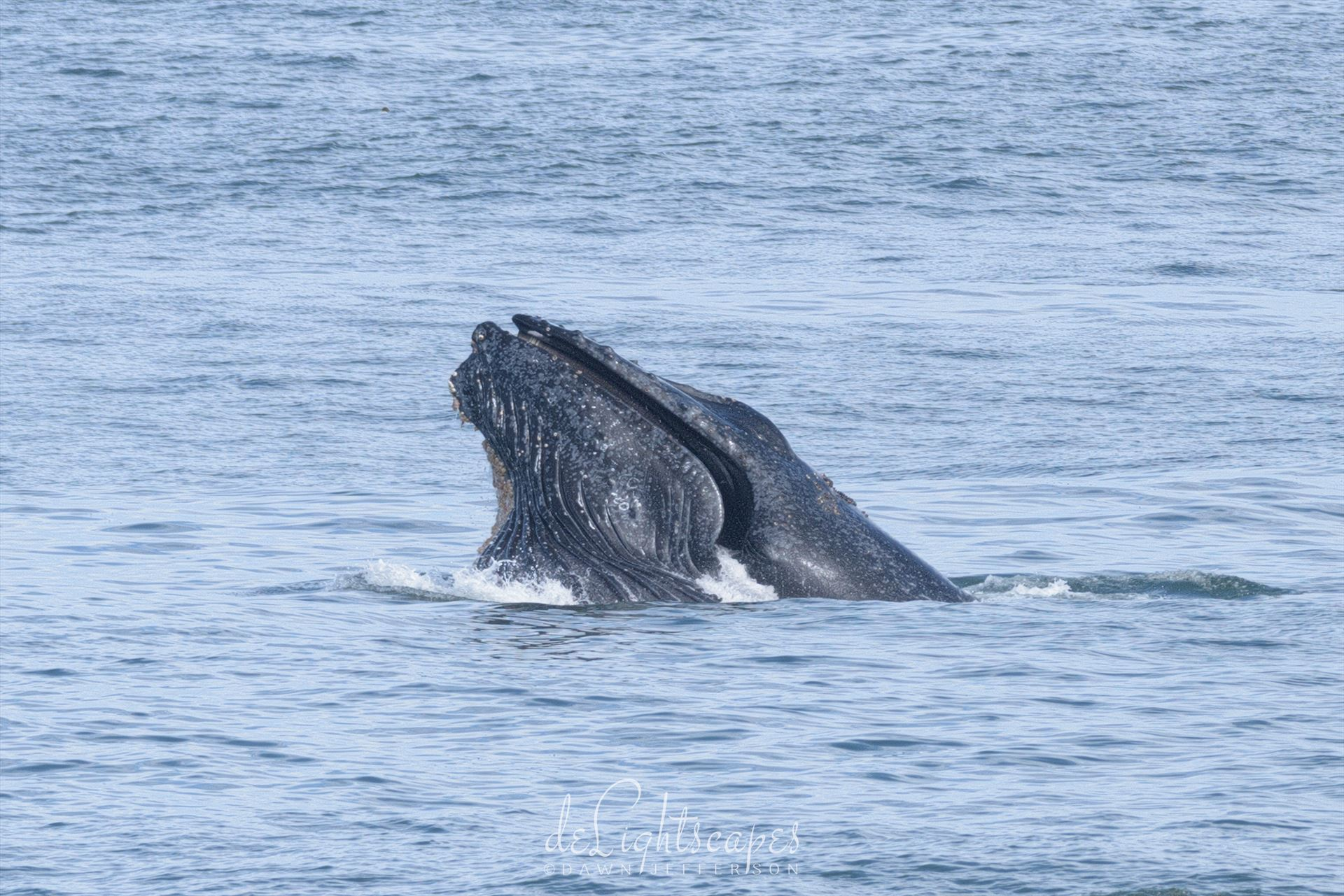 Humpback Whales Lunge Feeding 4 -  by Dawn Jefferson