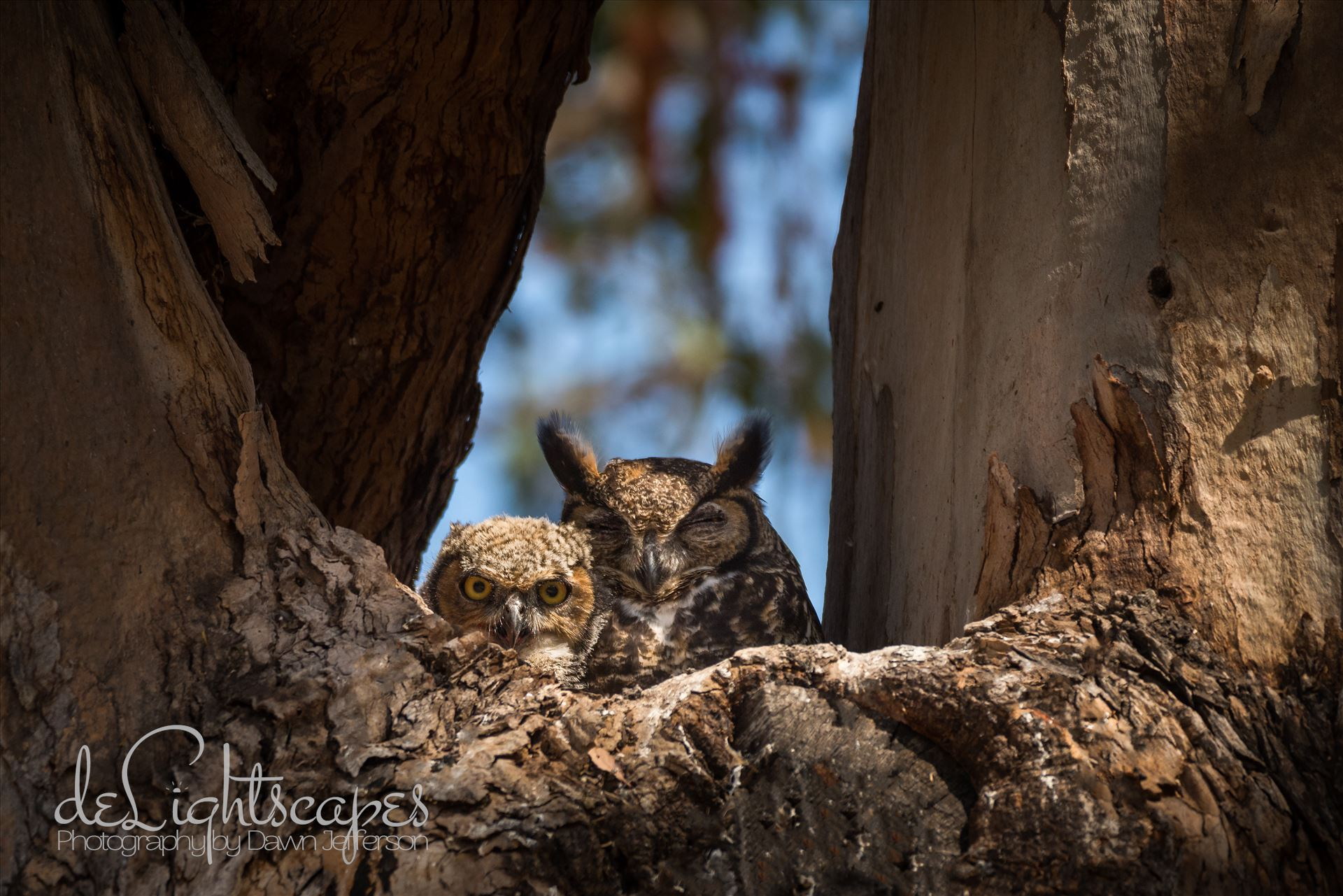 Great Horned Owlet and Napping Mother -  by Dawn Jefferson