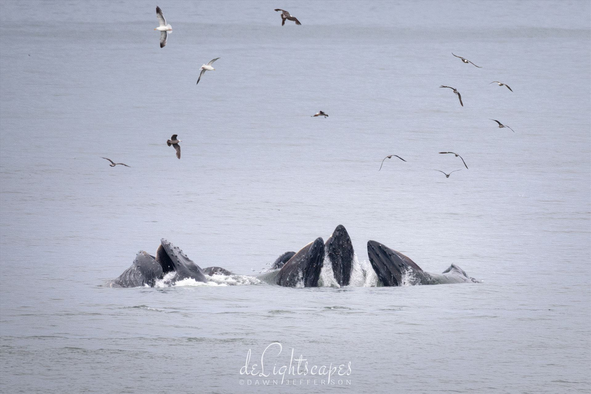 Humpback Whales Lunge Feeding 6 -  by Dawn Jefferson