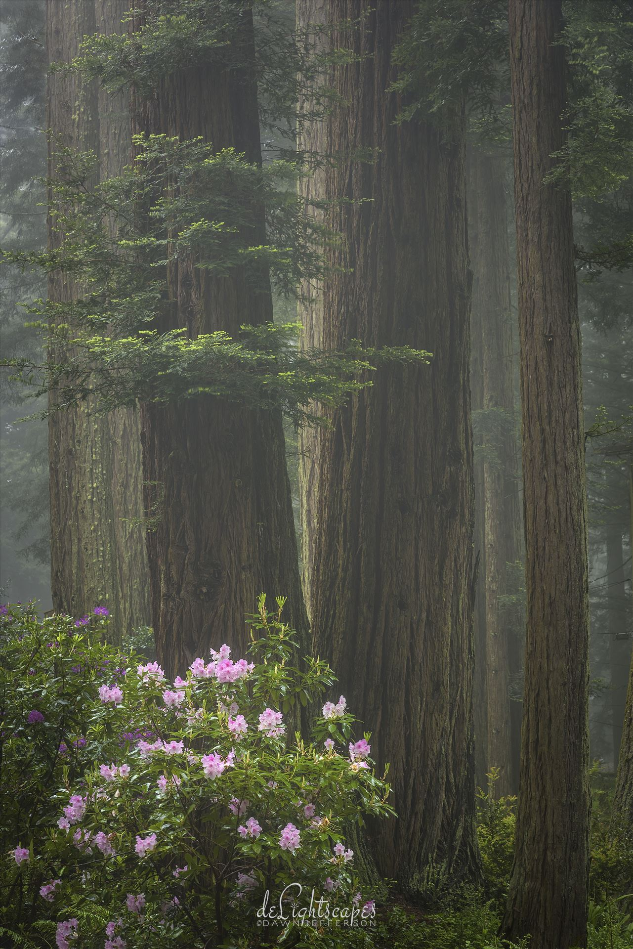 Redwoods and Rhododendrons - Rhododendrons amongst the redwoods wrapped in a layer of fog. by Dawn Jefferson