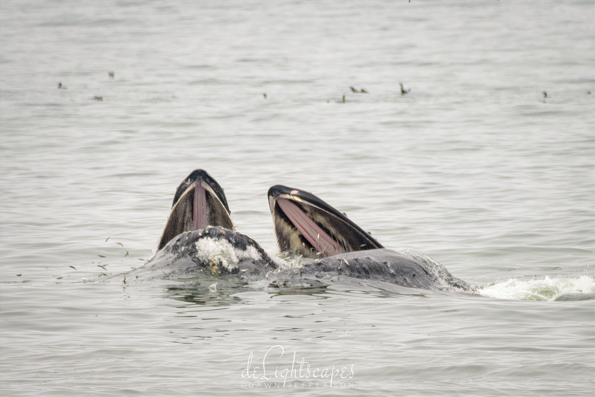 Mother and Baby Humpback Whales Feeding -  by Dawn Jefferson