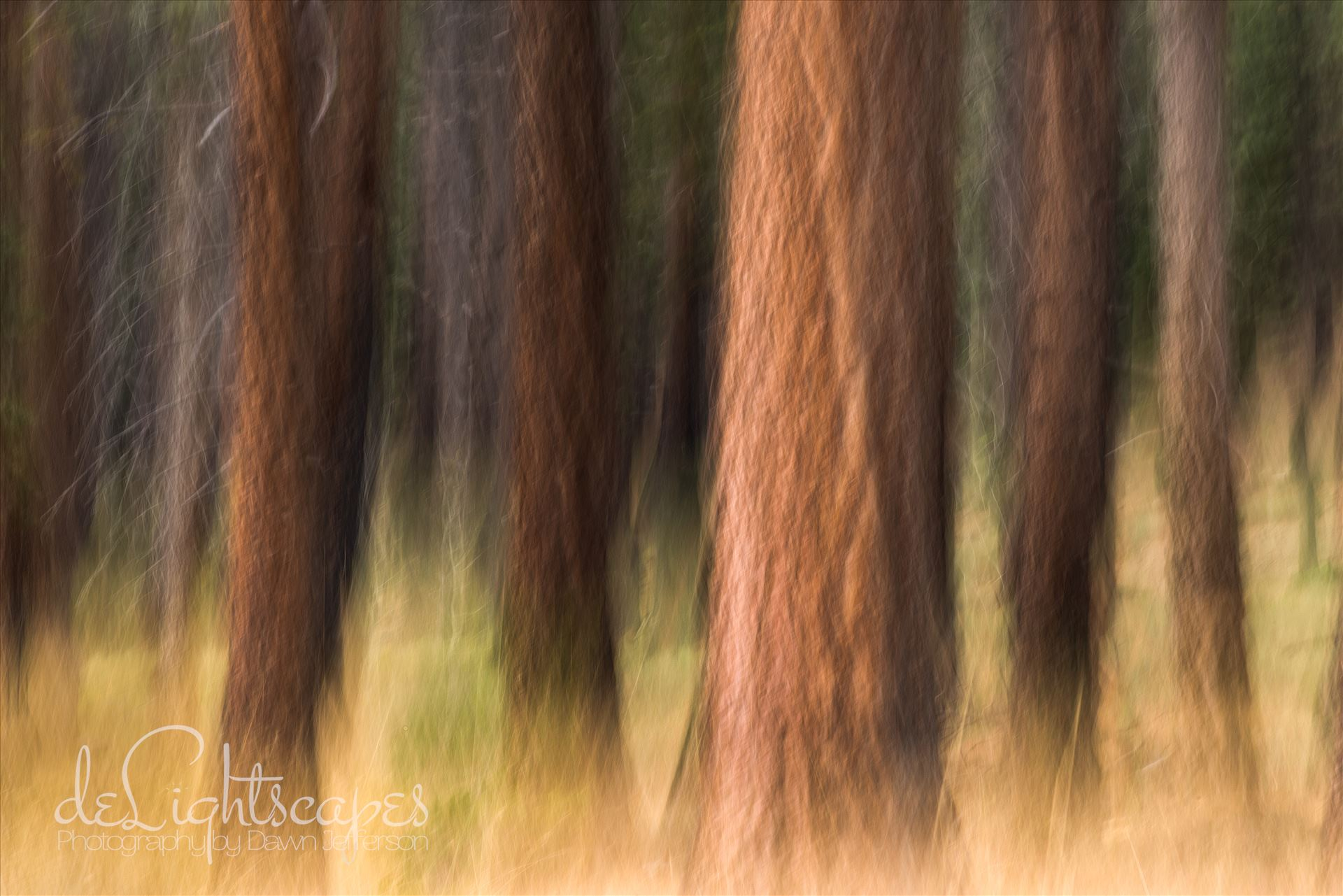 Pining - Pine trees in Tahoe using Intentional Camera Movement (ICM- purposeful movement of the camera while the shutter is open causing intentional blurring of your subject.) This is one of my favorite techniques for making dreamy abstracts. by Dawn Jefferson