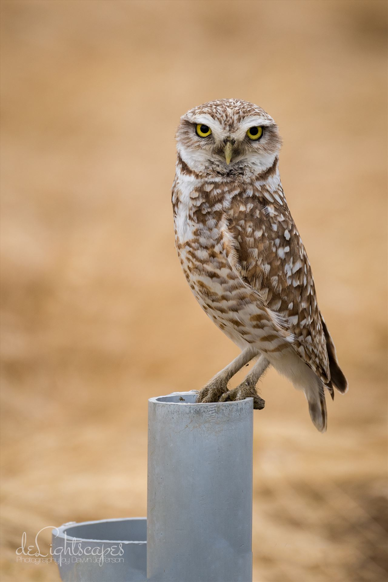 Burrowing Owl -  by Dawn Jefferson