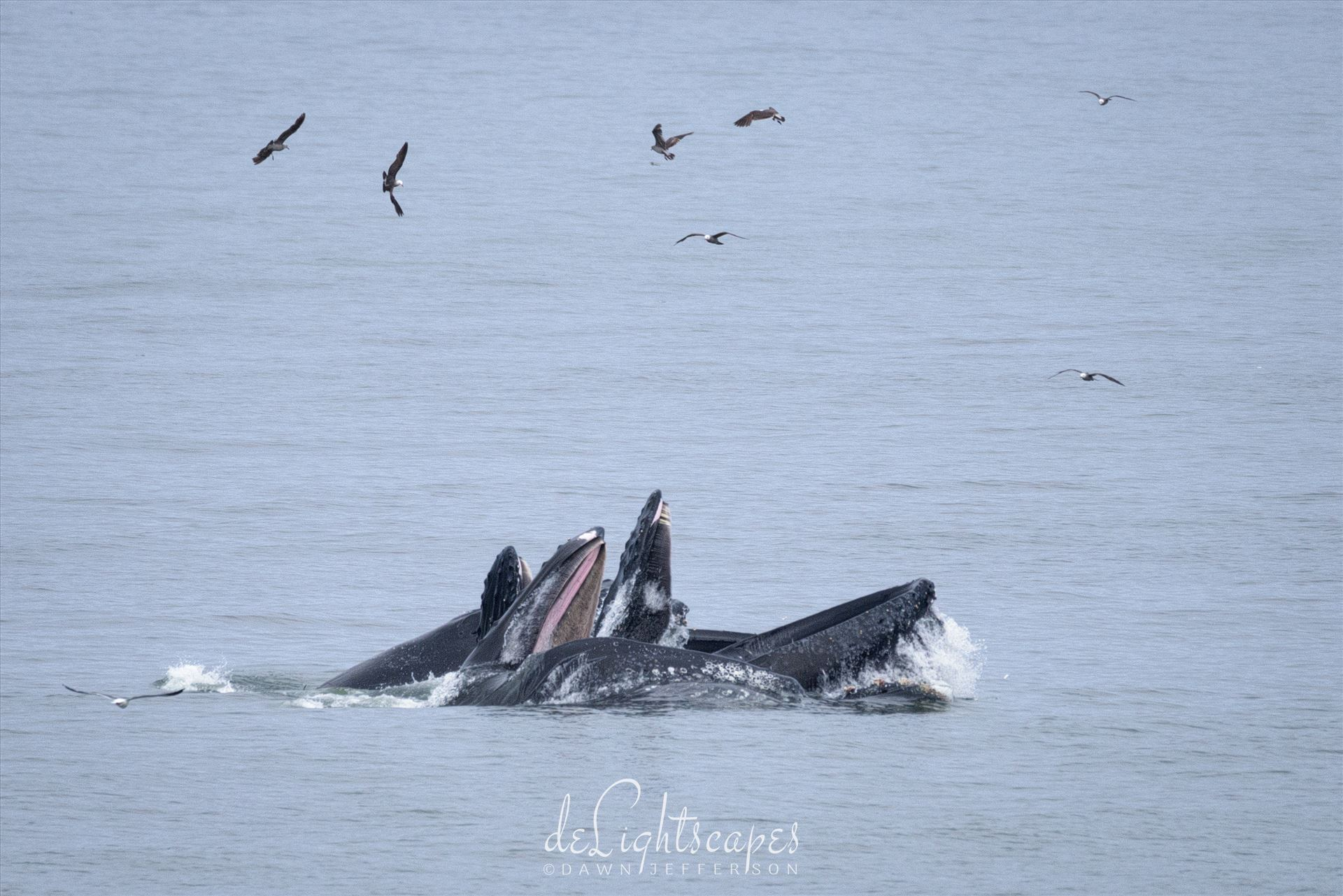 Humpback Whales Lunge Feeding 1 -  by Dawn Jefferson