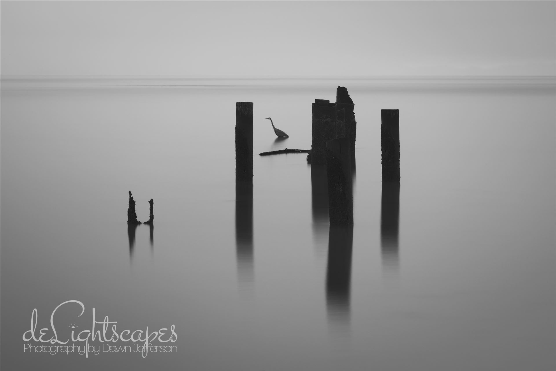 Thirty Seconds of Stillness - This is a thirty second exposure in the which the hunting heron stood completely still focused on his fishing. by Dawn Jefferson