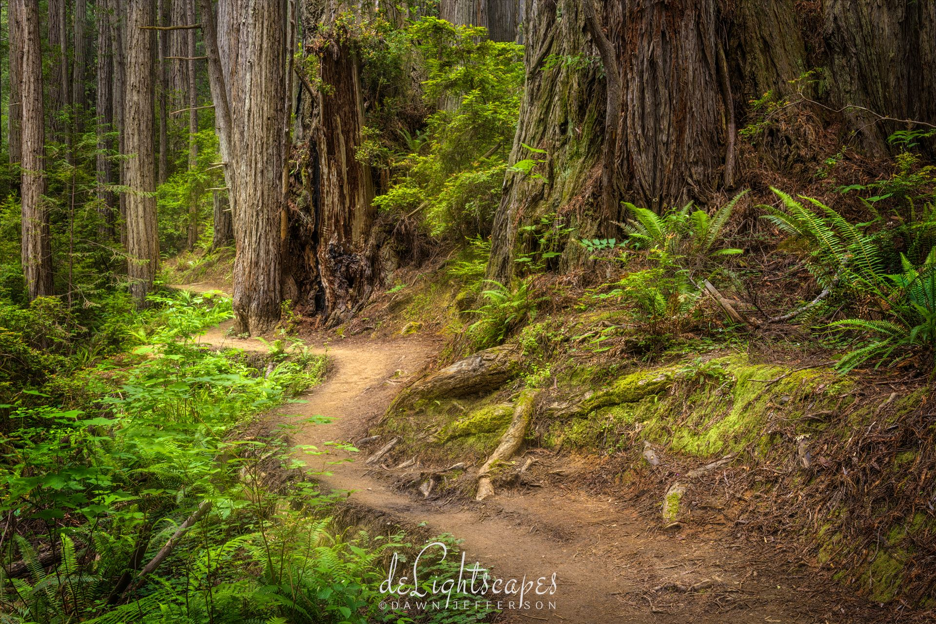Redwood National Park - Giant ferns and goliath Redwood trees make Redwoods National Park a must visit place at least once in a lifetime. by Dawn Jefferson