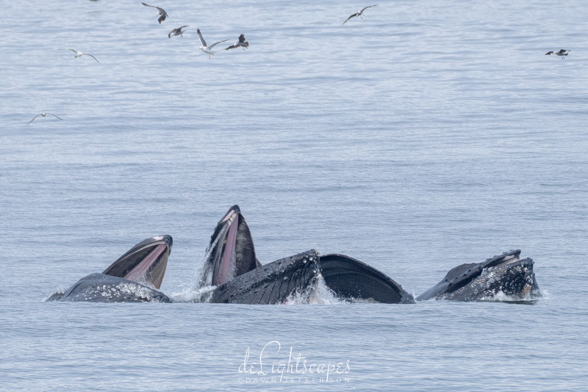 Humpback Whales Lunge Feeding 3 -  by Dawn Jefferson