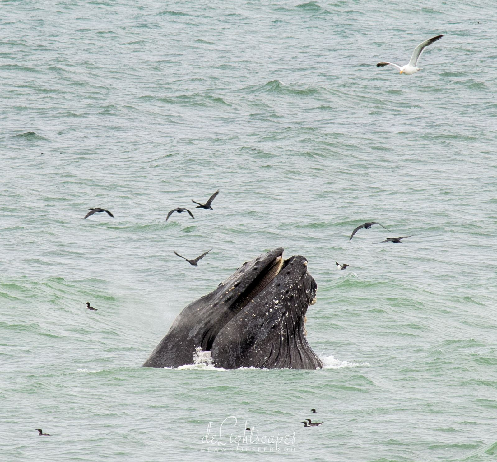 Humpback Whales Lunge Feeding 7 -  by Dawn Jefferson