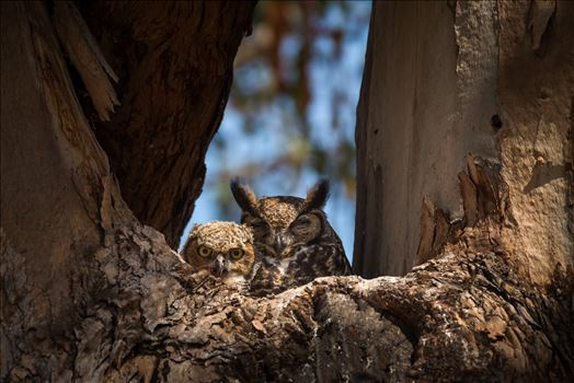 Great Horned Owlet and Napping Mother -