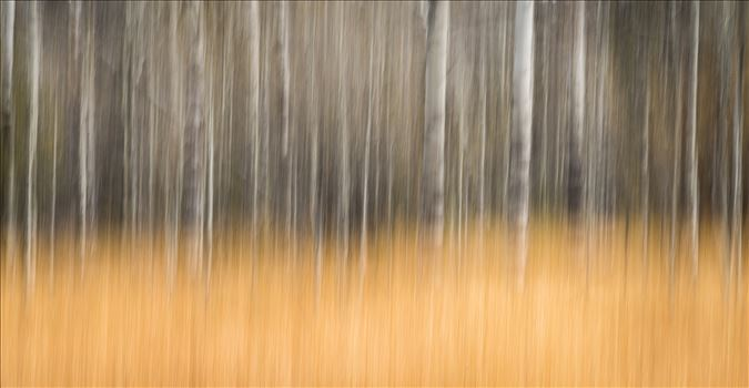 Bare Aspen - Intentional Camera Movement (ICM) - purposeful movement of the camera while the shutter is open causing intentional blurring of your subject. This is one of my favorite techniques for making dreamy abstracts.