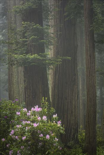 Redwoods and Rhododendrons - Rhododendrons amongst the redwoods wrapped in a layer of fog.