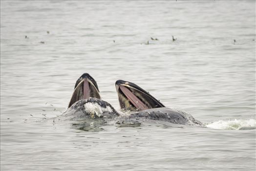 Mother and Baby Humpback Whales Feeding -