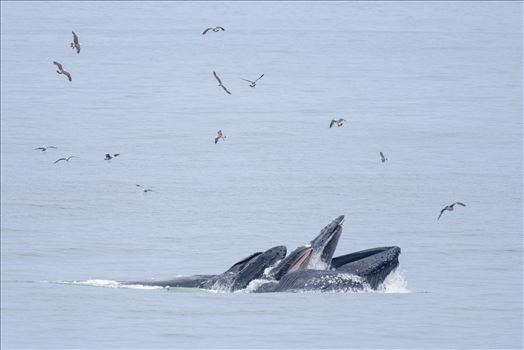 Preview of Humpback Whales Lunge Feeding 2