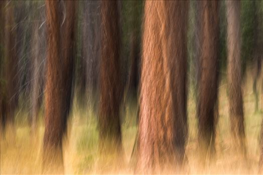 Pining - Pine trees in Tahoe using Intentional Camera Movement (ICM- purposeful movement of the camera while the shutter is open causing intentional blurring of your subject.) This is one of my favorite techniques for making dreamy abstracts.