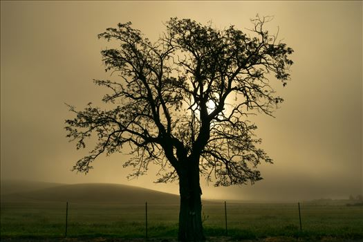 Oak Tree in Silhouette -
