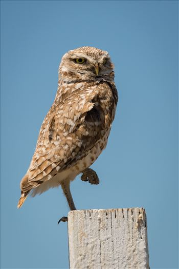 Burrowing Owl in Repose -