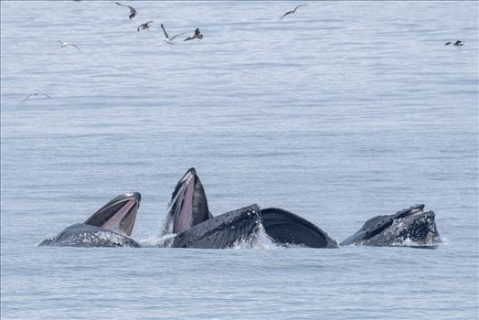 Whales - Humpback Whales of the Pacific Ocean.